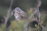 "Bruant fauve (Fox Sparrow ""sooty"") Passerella iliaca"