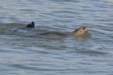 Lion de mer (California sea lion) Zalophus californianus