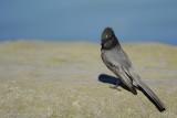 Moucherolle noir (Black Phoebe) Sayornis nigricans