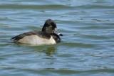 Fuligule à collier (Ring-necked duck) Aythya collaris