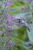 Colibri d'Anna (Anna's hummingbird) Calypte anna