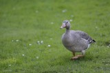 Oie Rieuse (Greater White-fronted Goose) Anser albifrons