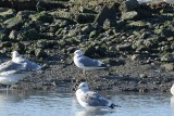 Goéland cendré (Mew gull) Larus canus