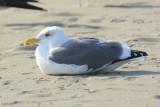 Goéland d'Audubon (Western gull) Larus occidentalis