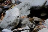 Troglodyte de Baird (Pacific wren) Troglodytes pacificus