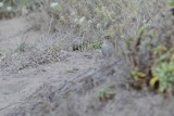 Bruant à couronne dorée (Golden-crowned sparrow) Zonotrichia atricapilla