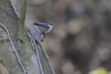 Sittelle pygmée (Pygmy Nuthatch) Sitta pygmaea