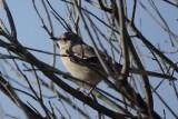 Moqueur polyglotte (Northern Mockingbird) Mimus polyglottos
