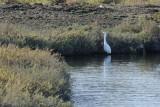 Aigrette neigeuse (Snowy egret) Egretta thula