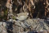Bruant à joues marron (Lark sparrow) Chondestes grammacus