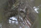 Petite nyctale (Northern Saw-whet Owl) Aegolius acadicus