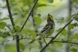 Paruline à gorge noire (Black-throated Green Warbler) Setophaga virens