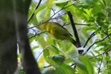 Paruline à calotte noire (Wilson's warbler) Cardellina pusilla