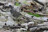 Paruline bleue, femelle (Black-throated blue warbler)