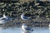 Goéland cendré (Common gull) Larus canus