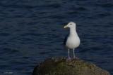 Goéland d'Audubon (Western gull)