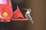 Colibri à gorge rubis (Ruby-throated hummingbird)