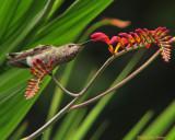 Hummingbirds gallery