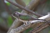 Klaas's Cuckoo