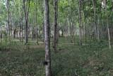 rubber trees.jpg