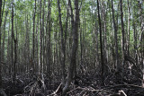 in the mangrove forest.jpg