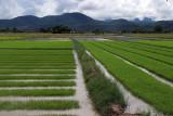 rice seedlings.jpg
