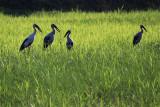 open billed storks.jpg