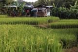 rice plots.jpg