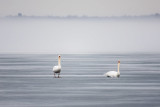 Two swans on the ice on a foggy afternoon