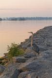 Heron on the breakwater