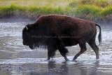 Yellowstone NP - Buffalos, Mud Volcano, Sulfur Cauldron, and the Cascade Lake trail