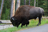 1747 - Grand Teton and Yellowstone NP road trip 2019 - IMG_3591 DxO pbase.jpg