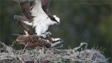 Male Osprey landing on his Mate