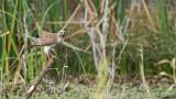 Red-shouldered hawk Hunting