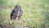 Burrowing Owl - Swarovski Scope