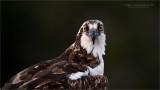 Osprey portrait with my Swarovski Scope