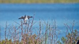 Belted Kingfisher - Swarovski Scope