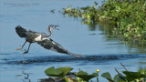 Tri-colored heron with catfish