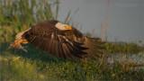Bald Eagle with Stolen Breakfast