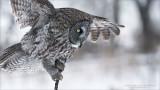 Great grey owl Landing