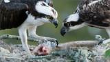Osprey Family Dinner