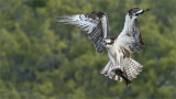 Incoming Osprey with Breakfast