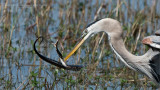 Great Blue Heron with a Snake