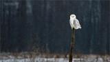 Snowy Owl resting in peace