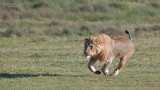 Male Lion on the Run!