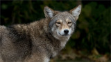 Coyote With that Look!
