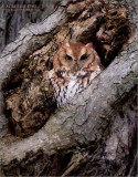 Screech owl at 4000 iso