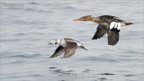 Long tailed and Merganser racing!