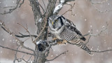 Northern Hawk Owl and the Meal