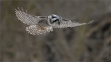 Northern hawk Owl Hovering 1